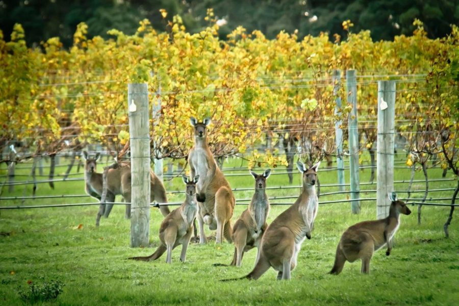 The lucky vine: Australia's top wine regions (& why you should visit them)
